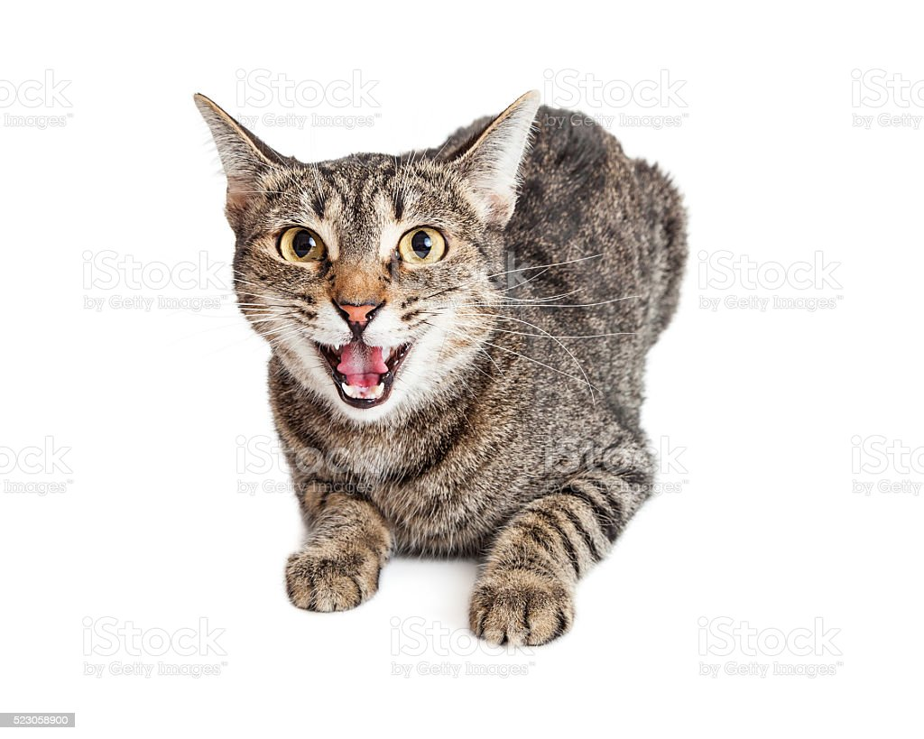 Angry Cat Hissing Looking Forward stock photo