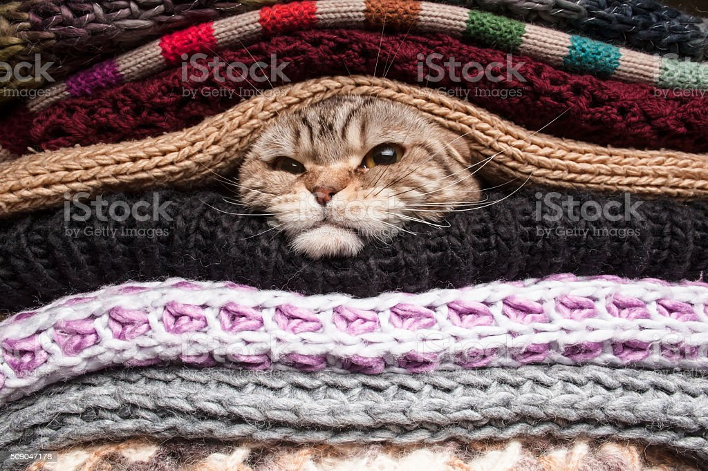 angry cat is preparing for winter, wrapped up in a pile of woolen...