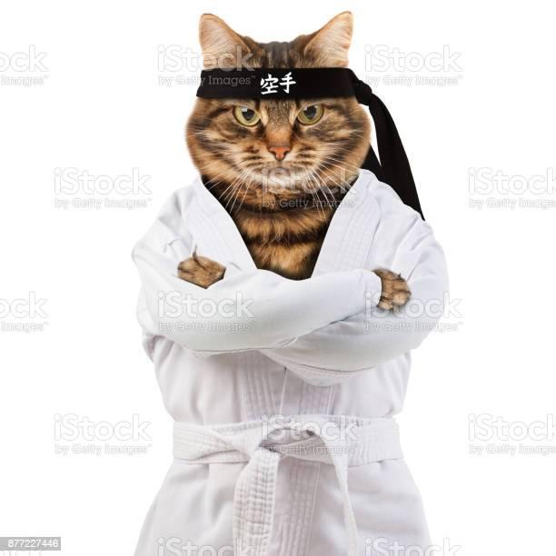 Angry cat is wearing a kimono cat fighter is engaged in karatedo picture id877227446?b=1&k=6&m=877227446&s=612x612&h=cvdemm8meygk3mbvhfpqndb5aonwquwqb5nezgbf4qe=