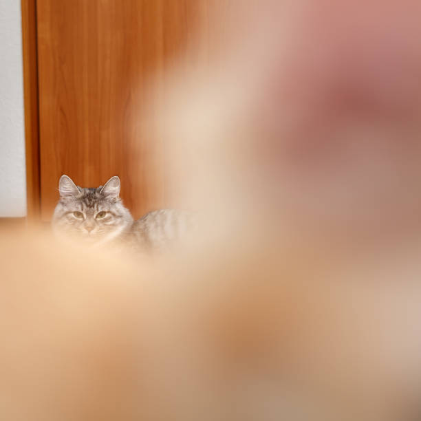 Angry cat. Nose. Kuril Bobtail cat. In the foreground, a kitten's nose. Thoroughbred cat. Cute and funny kitten. Pet. bobtail squid stock pictures, royalty-free photos & images
