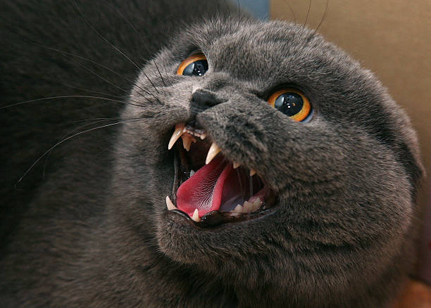 angry cat - gold tooth stock photos and pictures