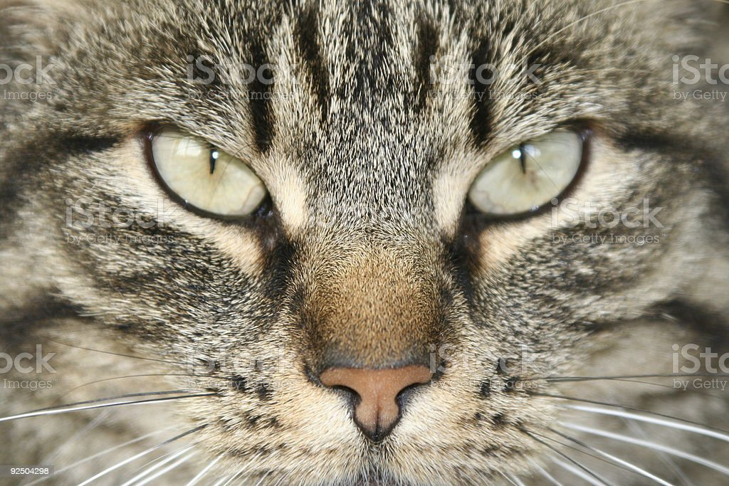 Angry Cat royalty-free stock photo