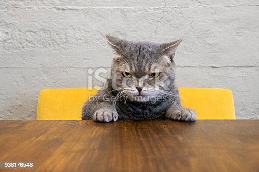 Big-eyed naughty obese cat showing paws on wooden table. British sort hair.