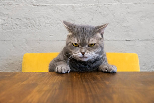 Angry cat Big-eyed naughty obese cat showing paws on wooden table. British sort hair. anger stock pictures, royalty-free photos & images