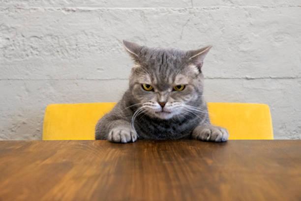 böse katze - angry stock-fotos und bilder
