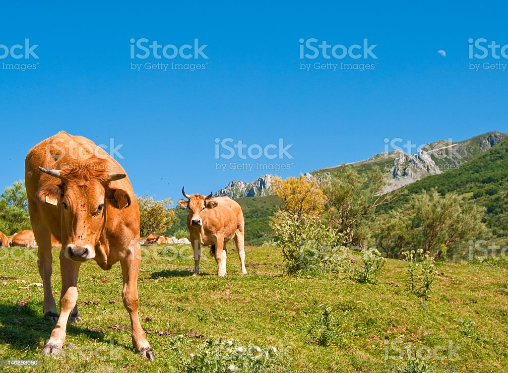 Angry Cows Stock Photo & More Pictures of Animal - iStock