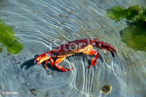 A crab prepared to defend itself.