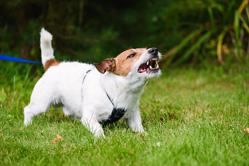Jack Russell Terrier tethered on leash barking fiercely