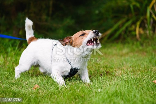 istock Angry dog aggressively barking and defending his  territory 1048217784