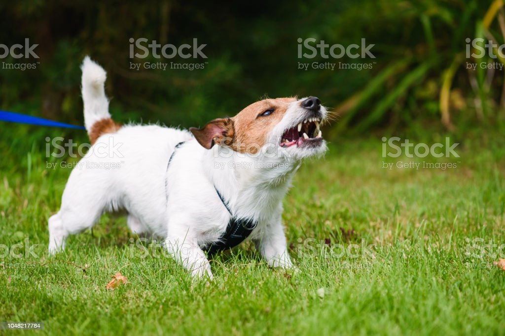 Angry dog aggressively barking and defending his  territory stock photo