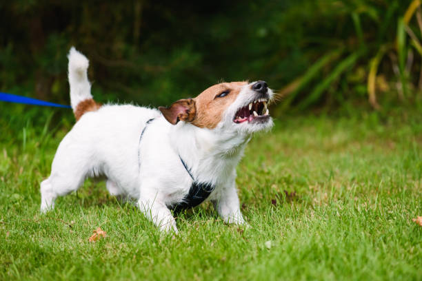 Angry dog aggressively barking and defending his  territory Jack Russell Terrier tethered on leash barking fiercely aggressively stock pictures, royalty-free photos & images