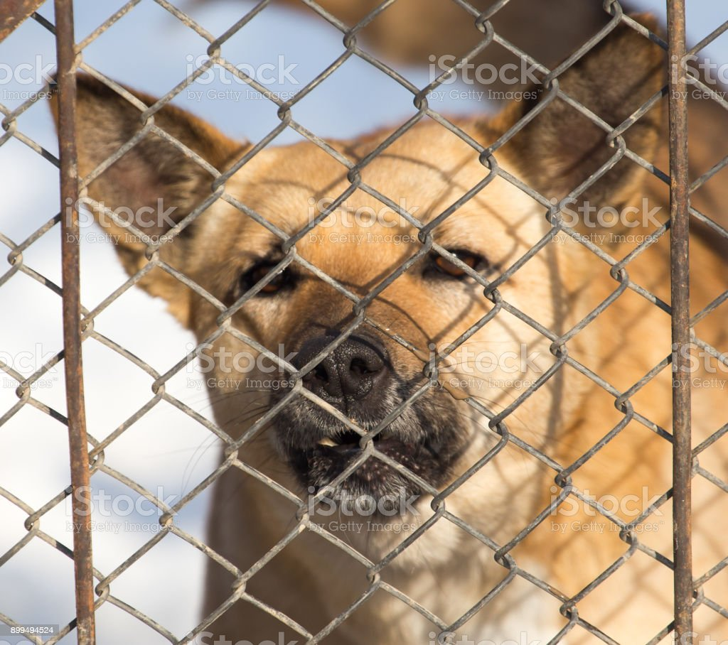 angry dog behind a fence stock photo