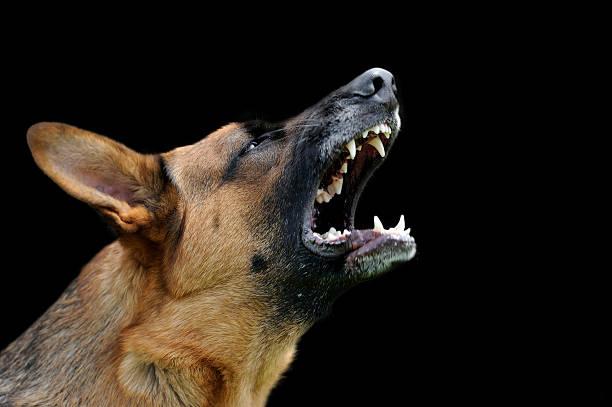 wütend hund auf dunklem hintergrund - knurren stock-fotos und bilder