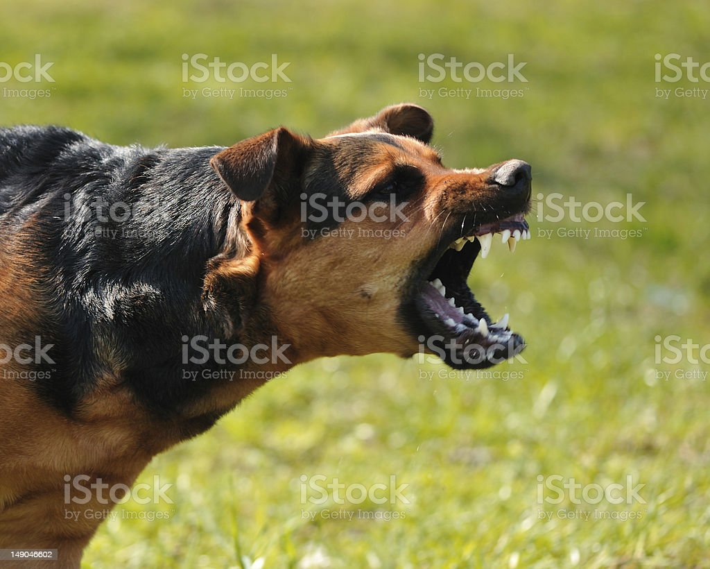angry dog with bared teeth stock photo