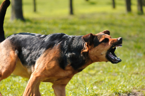 istock angry dog with bared teeth 149075263