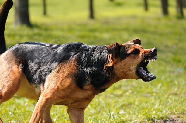 angry dog with bared teeth angry dog with bared teeth aggressively stock pictures, royalty-free photos & images