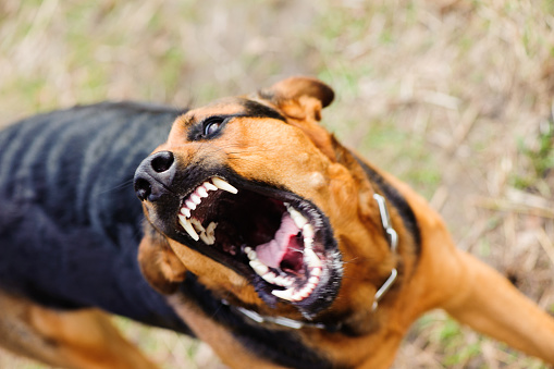 istock angry dog with bared teeth 938292878