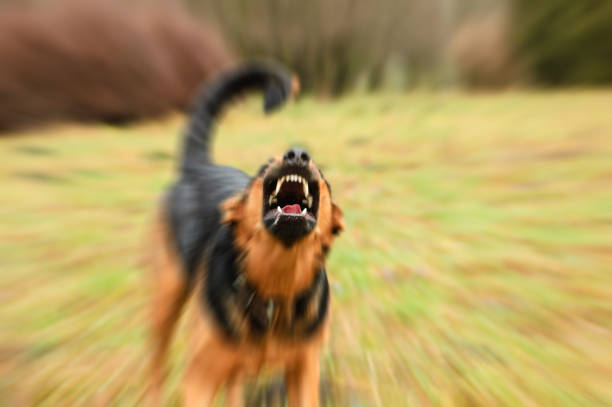 angry dog with bared teeth angry dog with bared teeth aggression stock pictures, royalty-free photos & images