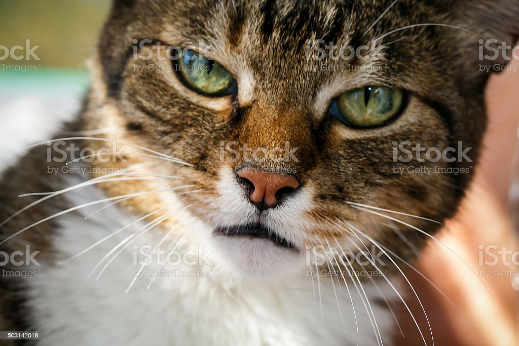 angry domestic cat stock photo