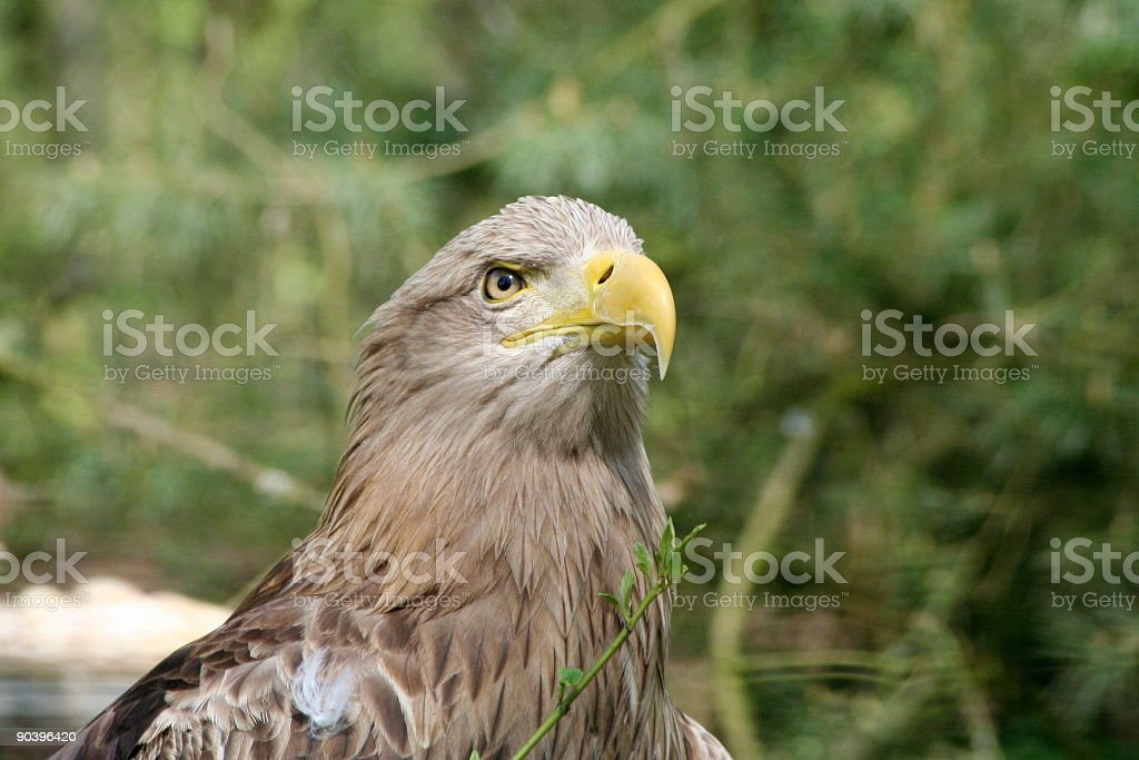 Angry eagle royalty-free stock photo