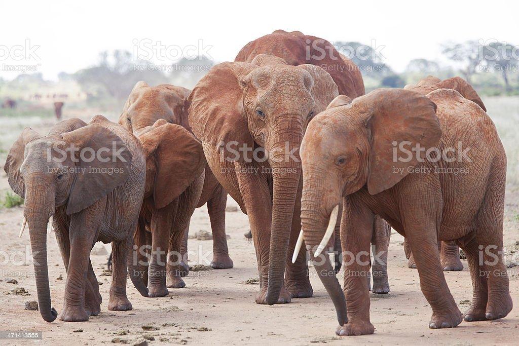 Angry Elephant herd on the dirt road: interception safari car stock photo