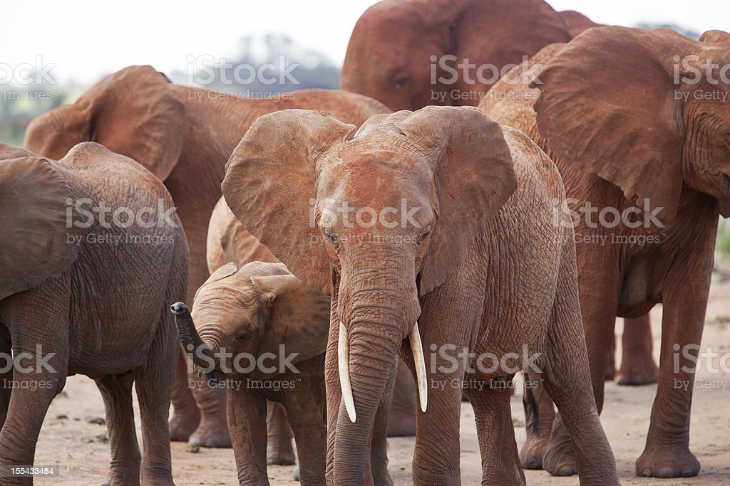 Angry Elephant herd on the dirt road: stock photo