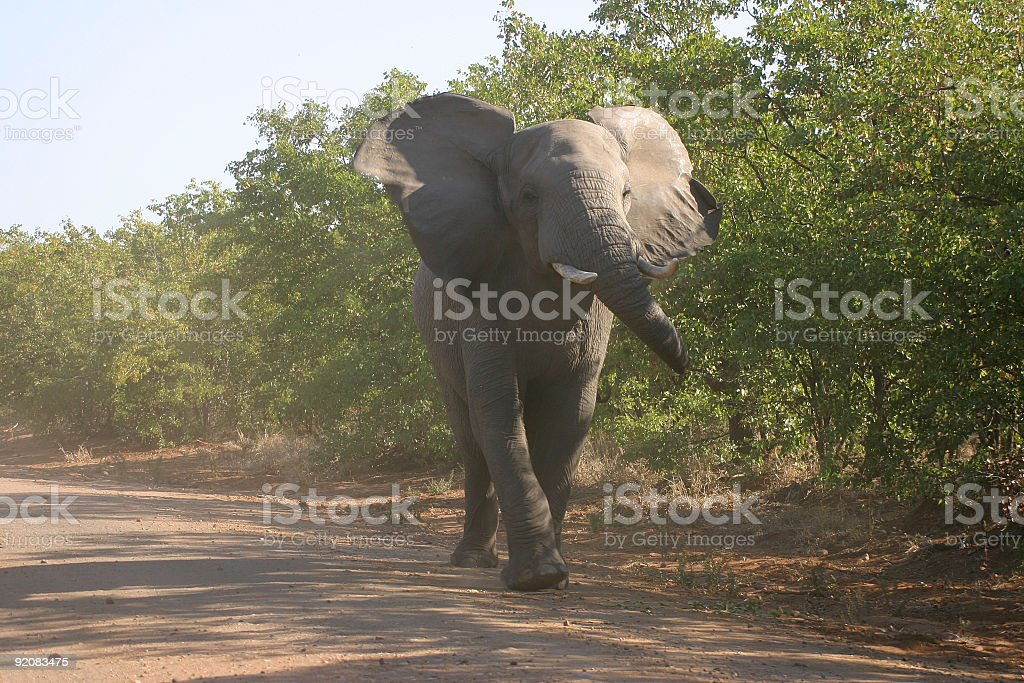 angry elephant royalty-free stock photo
