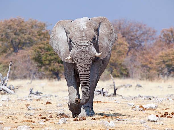 Angry Elephante, Etosha National Park, Namibia stock photo