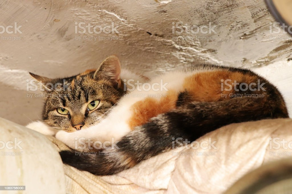 Angry face of domestic cat that I\'m disturbing her again. A multi...