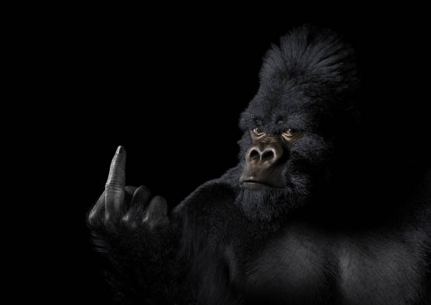 Angry Gorilla Giving the Finger This image depicts a gorilla presenting its middle finger in such a way as to suggest that it is angry or displeased about something. The image is dark overall, with the light in the scene positioned to highlight the raised hand and face. The gorilla looks directly into the camera, and has an expression that matches its body language.   This image is intended to illustrate how animals might feel about what humans have done to the environment, and specifically about issues such as climate change, deforestation, habitat destruction, and ecological catastrophe. It could also be used to illustrate opposition to zoos, animal testing, and poaching, as well as a wide range of general topics. poaching animal welfare stock pictures, royalty-free photos & images