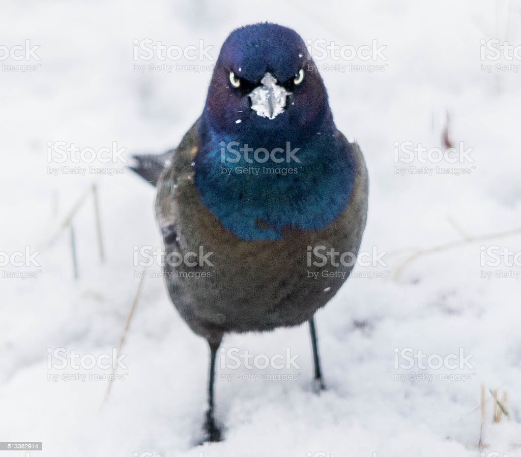 angry Grackle stock photo