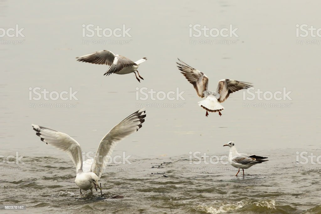angry gulls fighting for fishing spot stock photo