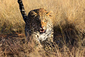Angry leopard, Namibia