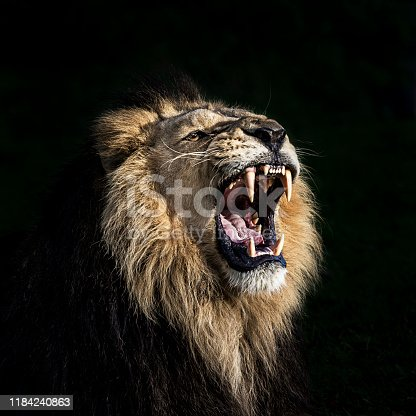 Portrait of furious lion. He shows his teeth opening mouth and takes an aggressive posture.