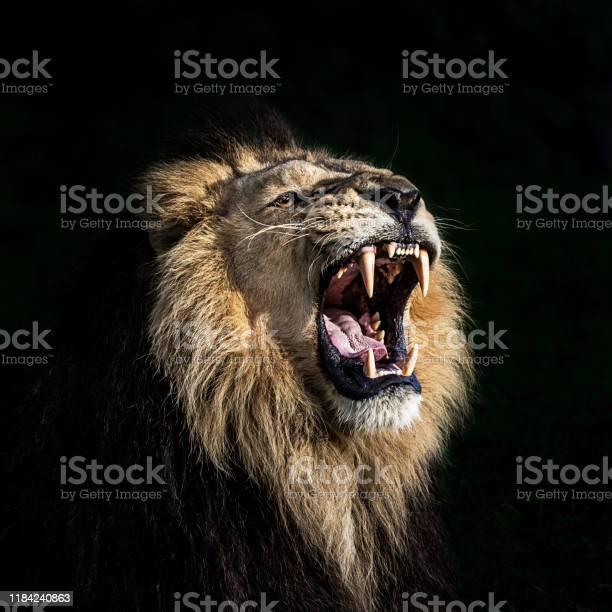 Angry lion roaring picture id1184240863?b=1&k=6&m=1184240863&s=612x612&h=yk4ncvmeocmjzgiouqap1rxlt psaulqjm4nwbkxr6m=