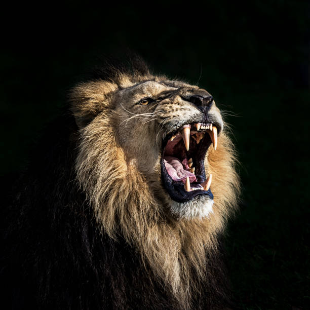 Angry lion roaring Portrait of furious lion. He shows his teeth opening mouth and takes an aggressive posture. animal mouth stock pictures, royalty-free photos & images
