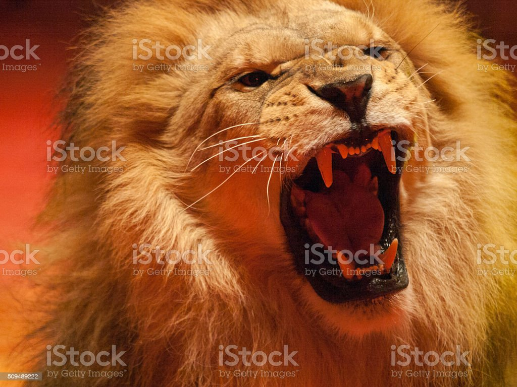 Angry lion roaring stock photo