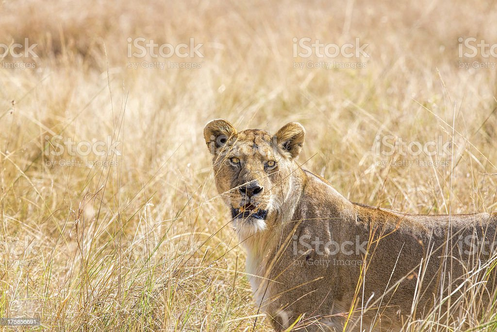 Angry Lioness at wild royalty-free stock photo