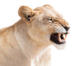 Portrait of growling furious lioness, isolated on white background in post-processing