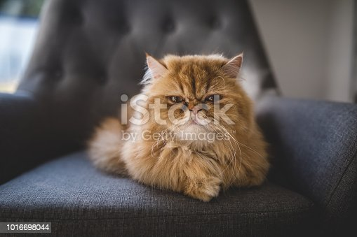 Beautiful Persian cat lying on a gray armchair, relaxing indoors at home.