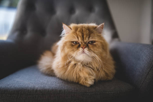 Angry looking Persian cat at home stock photo