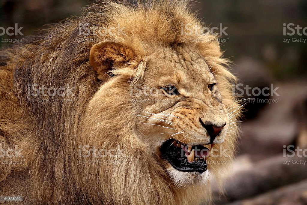 angry male lion stock photo