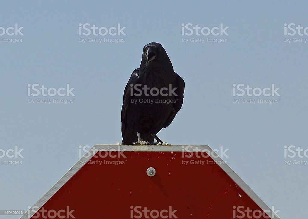 Angry Mojave Desert Raven stock photo