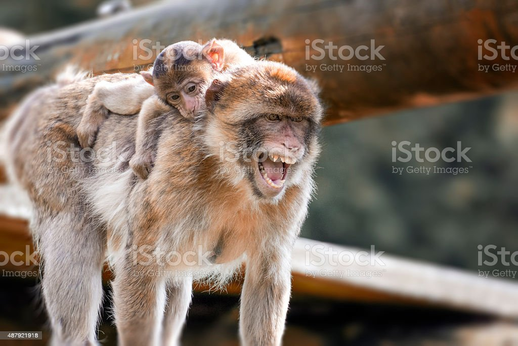 Angry monkey carrying her baby stock photo