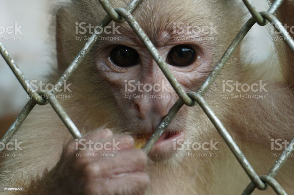 Angry Monkey stock photo