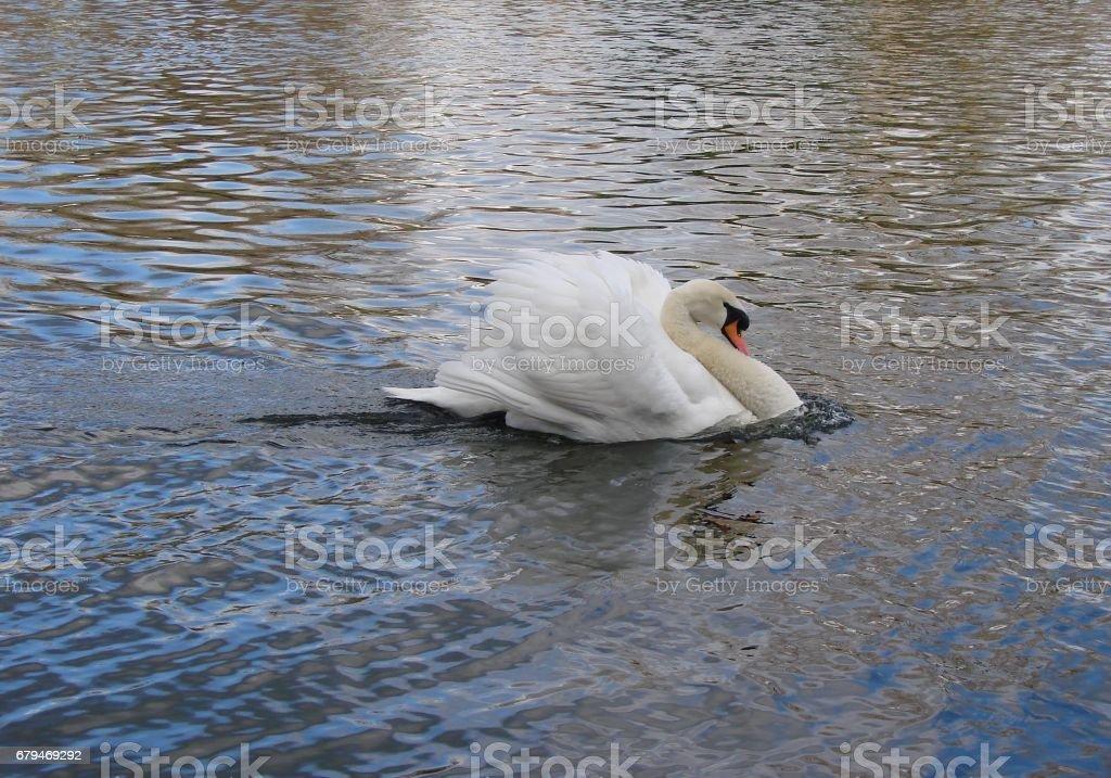生氣的疣鼻天鵝 免版稅 stock photo