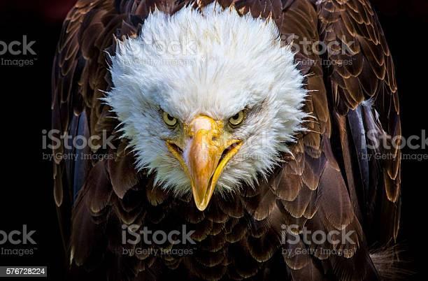 Angry north american bald eagle picture id576728224?b=1&k=6&m=576728224&s=612x612&h=hvp45 h87fq7w14ettmvwrg6zt pv3wbyu trvpssxg=