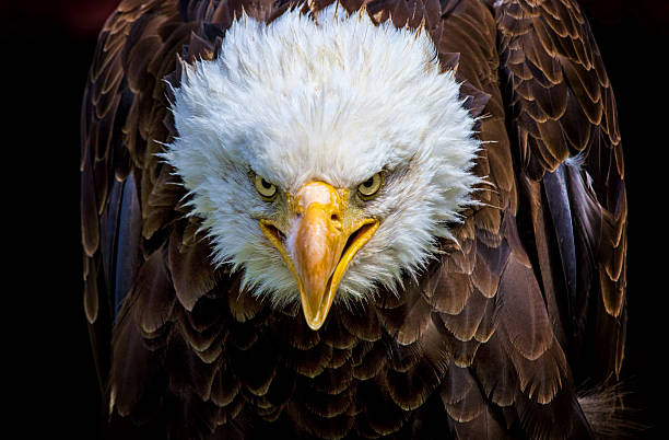 Angry north american bald eagle stock photo