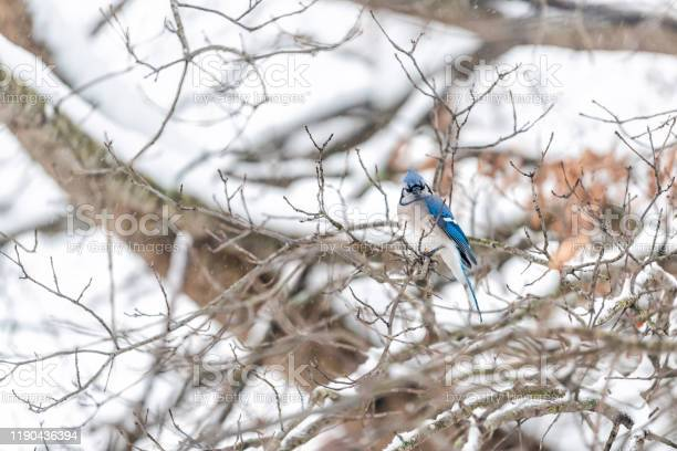 Photo of Angry one blue jay, Cyanocitta cristata, bird sitting perching on oak tree branch during winter snowing snow in Virginia
