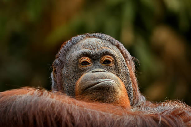 angry orangutan stock photo
